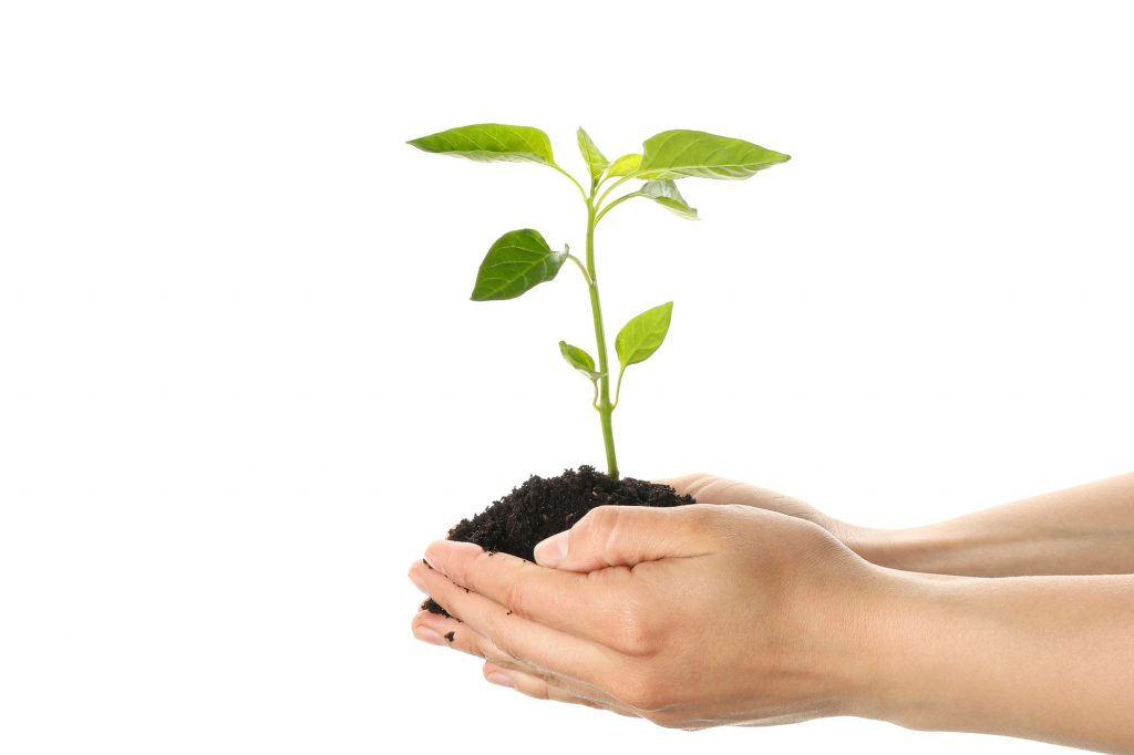 Woman hands holding seedling in black soil, isolated on white background. Environmental protection